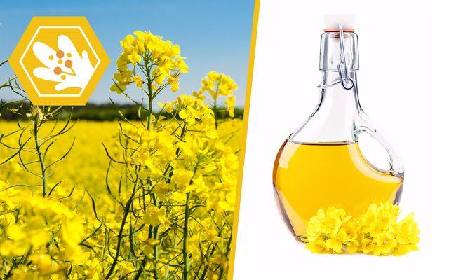 Canola oil bee extinction