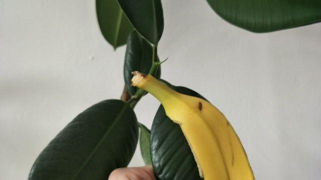 Bananenschale gegen Staub auf Zimmerpflanzen