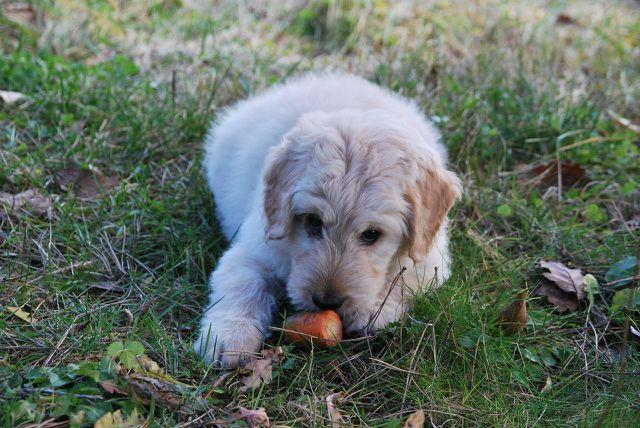 Obst und Gemüse ist für die Ernährung deines Hundes wichtig. Außerdem kann das Knabbern einer Karotte auch viel Spaß bringen.