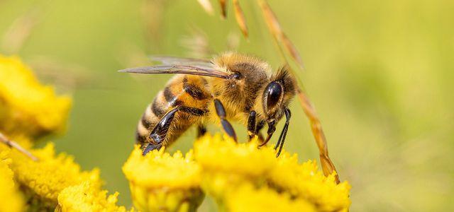Durch Pestizide sterben mehr Bienen als wir bisher glaubten