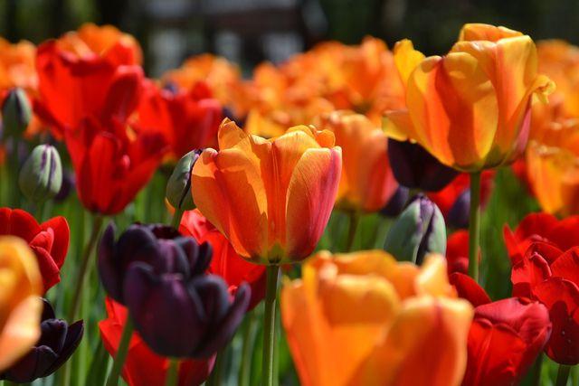 Tulpen Pflanzen Standort Und Richtige Pflege Im Garten Utopia De