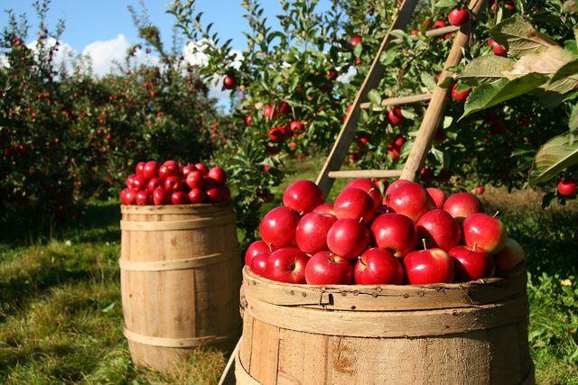 Frisch vom Baum sind Äpfel am klimafreundlichsten und gesündesten.