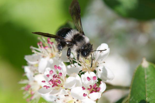 Einige Bienenarten wie die Frühlings-Pelzbiene fliegen bevorzugt Lippenblütlergewächse an.