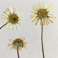 Die klassische Methode: gepresste Blumen.