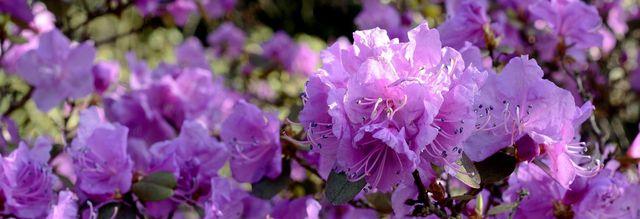 Mit der richtigen Rhododendron-Pflege erhältst du große Blüten.