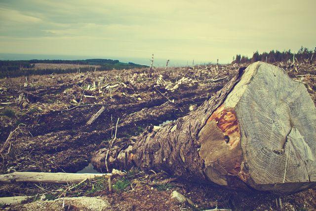 Werden ganze Wälder zur Holzgewinnung gerodet, leidet auch die Bodenqualität darunter