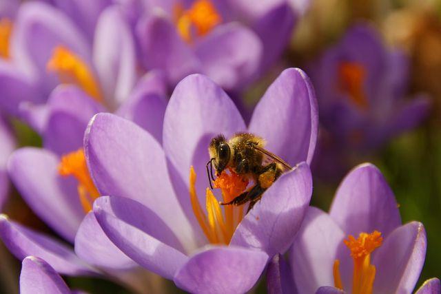 Bienen brauchen Frühblüher als Nahrungsquelle