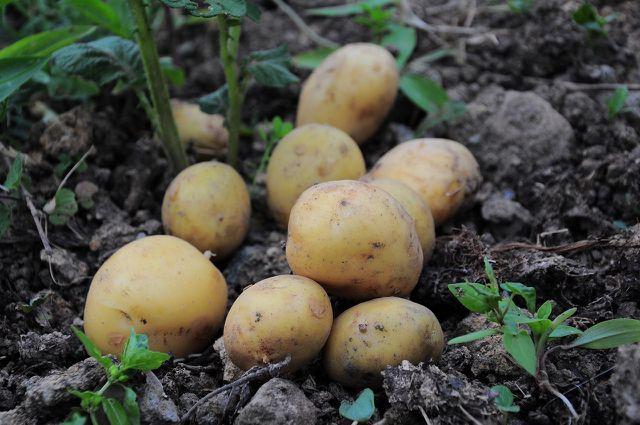 Verwende für die Patatas Bravas vorzugsweise Kartoffeln aus Bio-Anbau.