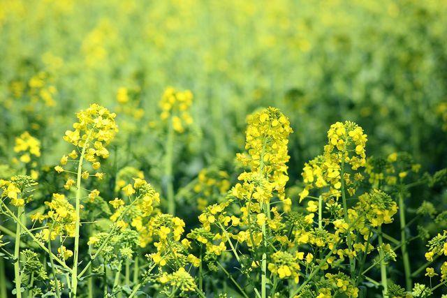 Besonders Raps und Rüben werden mit den Pflanzenschutzmitteln behandelt.