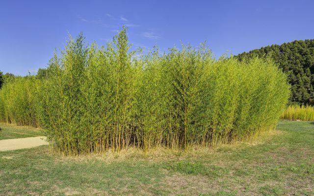 Bambuspflanzen: winterhart, immergrün und schnell wachsend.