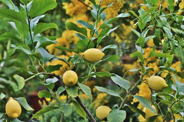 Kaufe bevorzugt Zitronen aus europäischer Herkunft.