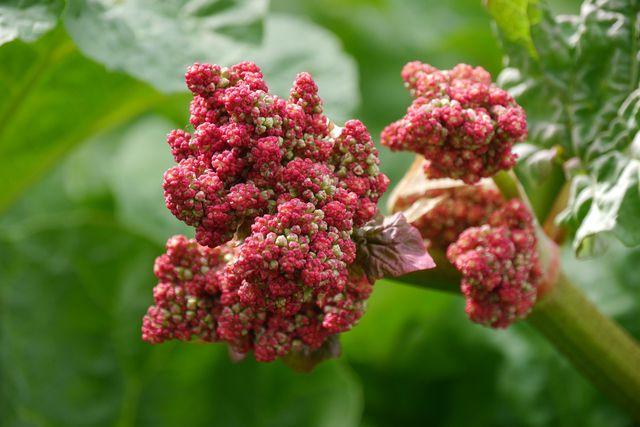 rhabarber pflanzen kaufen