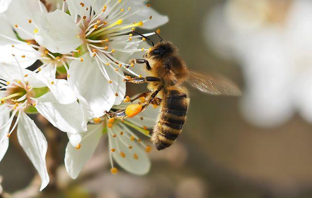 Schlehenblüten bieten Bienen reichlich Nektar.