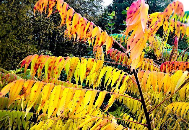 Sein farbenfrohes Herbstlaub macht den Essigbaum bei Hobbygärtnern so beliebt.