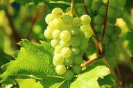 Weintrauben an sich sind immer vegan