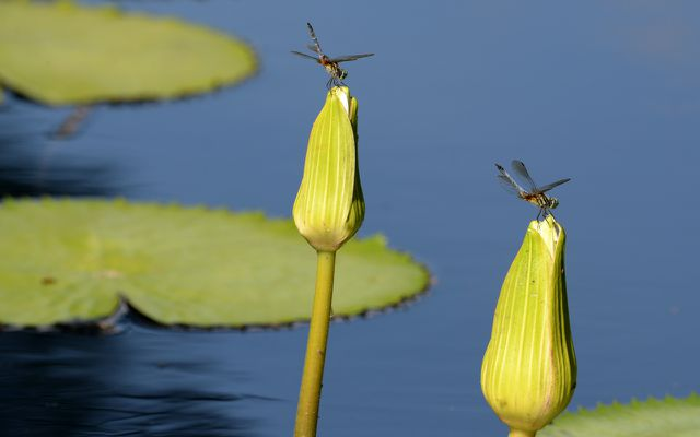 If you want to attract dragonflies to your yard, you need to install a water feature