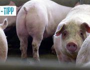 TV-Tipp: Armes Schwein - fettes Geschäft (Arte)