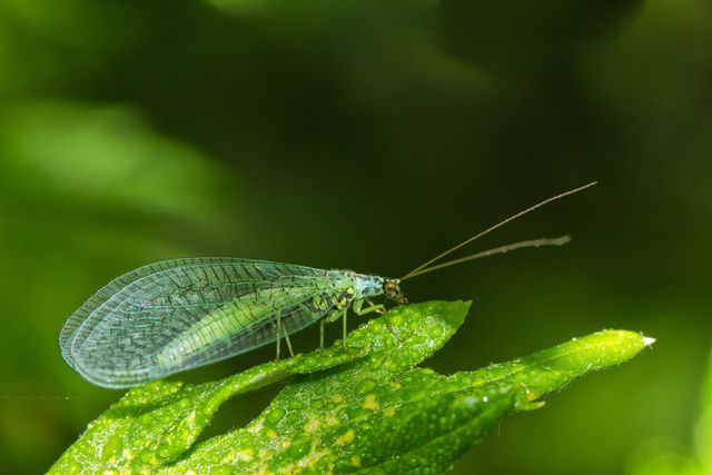 Florfliegen und Raubmilben sind die natürlichen Feinde der Thrispe.