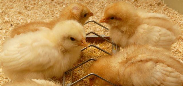 Hühner-Küken - Bio-Tierhaltung