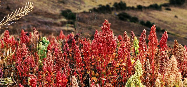 Quinoa plants in peru
