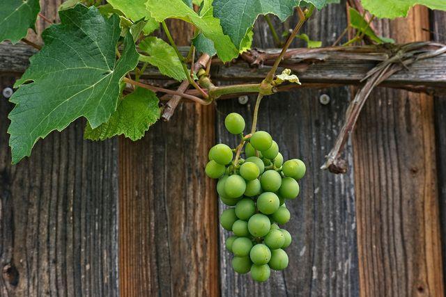 Durch einen regelmäßigen Rückschnitt können sich volle, große Trauben entwickeln.