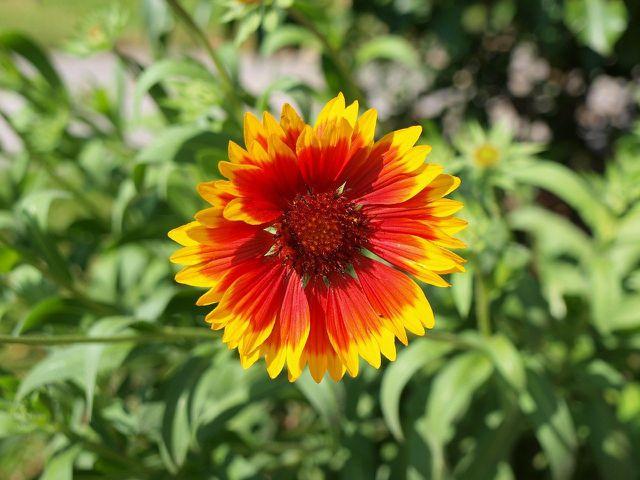 Die Kokardenblume ist mit ihrer großen, farbintensiven Blüte ein Hingucker in deinem Garten.