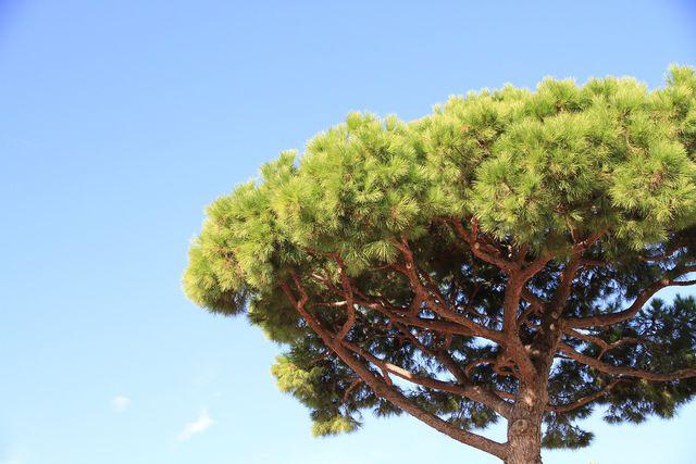 Pinien wachsen im Mittelmeerraum.