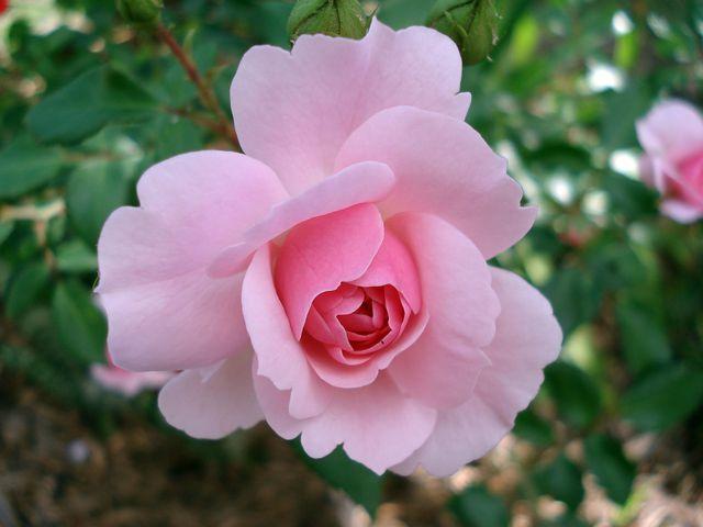 Neu gepflanzte Rosen solltest du nach der ersten Blüte düngen.