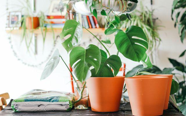 propagate monstera plants