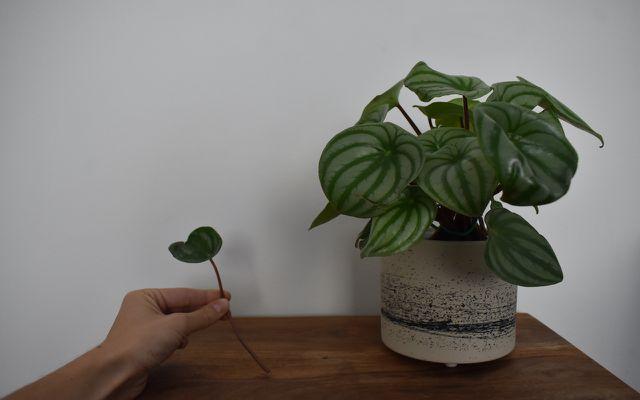 propagating plants in water