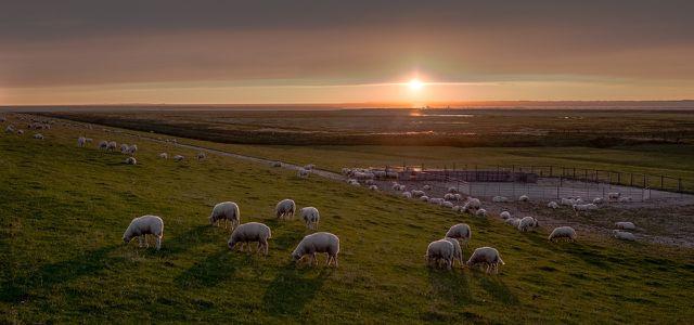 nachhaltige Wolle Schafe auf der Weide