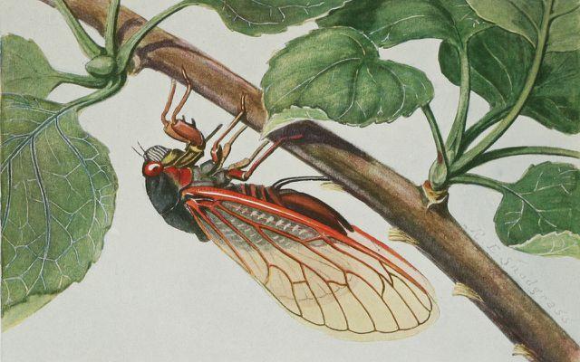 cicadas rose pests