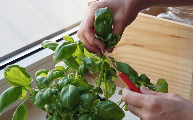 Selbstgezüchtetes Basilikum lässt sich wunderbar als Pesto verwerten.