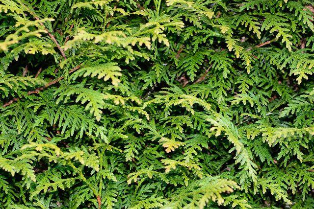 Pflanze nicht die falschen Hecken: Thujahecken sind beliebt, haben aber wenig ökologischen Nutzen.