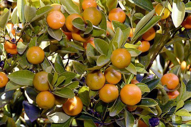 Mandarine am Baum