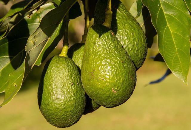 Avocados sind ökologisch nicht unbedenklich