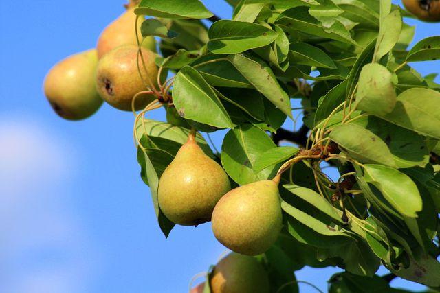 Die Wildbirne ist ein sehr robuster und pflegeleichter Obstbaum.