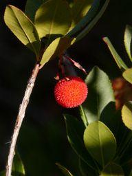 Aus der Nähe erinnern die Früchte des Erdbeerbaums eher an Litschis als an Erdbeeren.