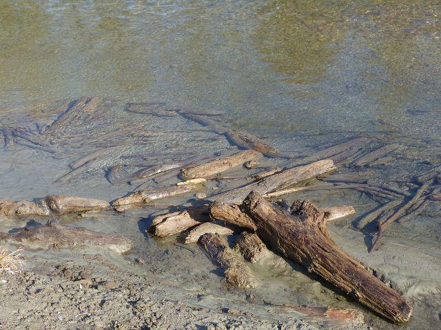Ebenfalls ein wichtiger Lebensraum: Totholz im Wasser.