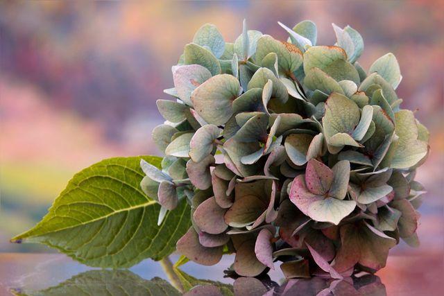 Hortensien gibt es in vielen verschiedenen Farben.