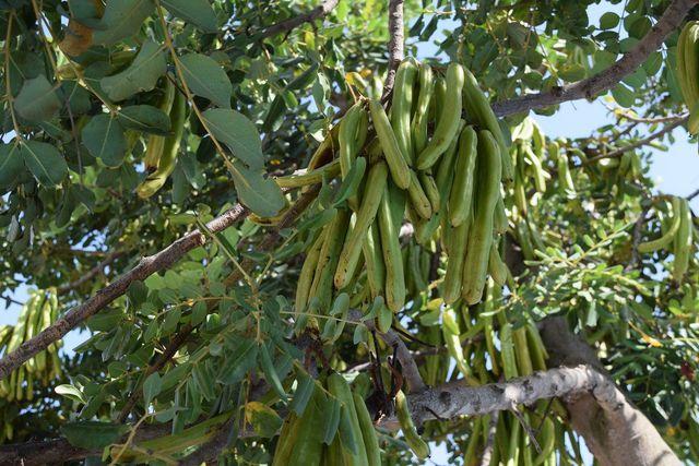 Der Johannisbrotbaum ist genügsam und gut für den Bio-Anbau geeignet
