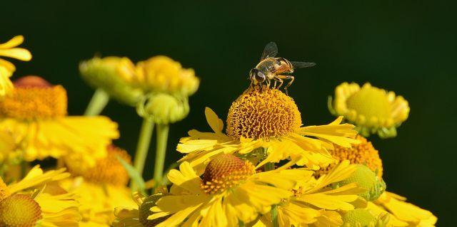 Biene auf gelber Sonnenbraut Blüte