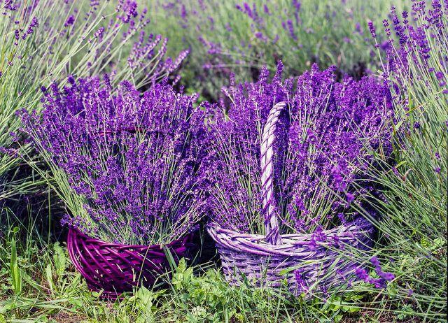 Lavendel kannst du gut in einem Topf anpflanzen.