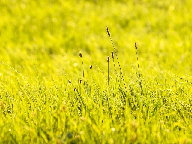 Spitzwegerich ist anspruchslos und wächst fast überall.