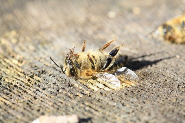 Help give a tired bee a boost with nectar, pollen, or sugar water