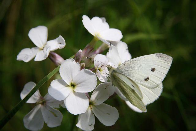 Schmetterling auf Lunaria Blüte