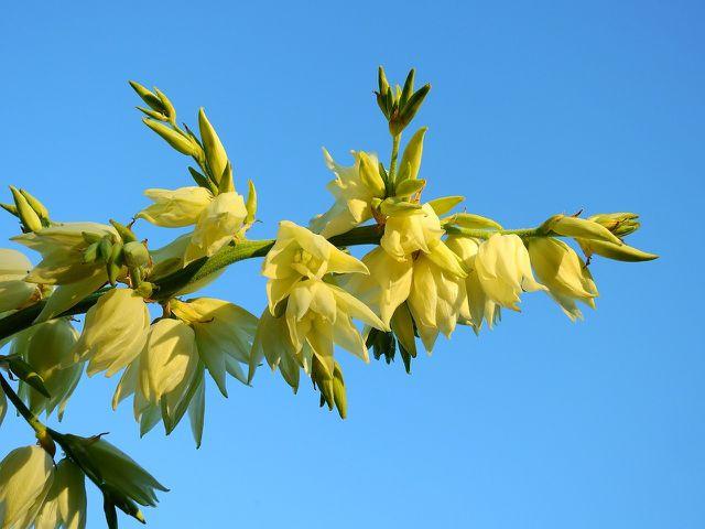 Blüten und Blätter des Gilbweiderichs werden in der Volksmedizin zu Tee verarbeitet.