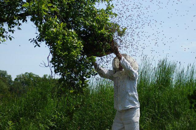 Keine Panik vor Bienenschwärmen im Garten: Erfahrene Imker können sie einfangen
