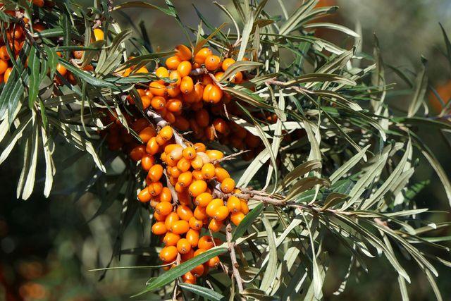 Sanddorn, die orangen Beeren enthalten mehr Vitamin C als Zitronen.