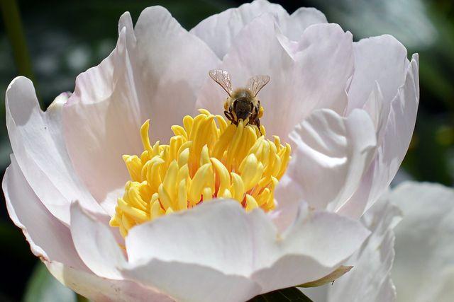 Bienen erfreuen sich nur an ungefüllten Blüten.